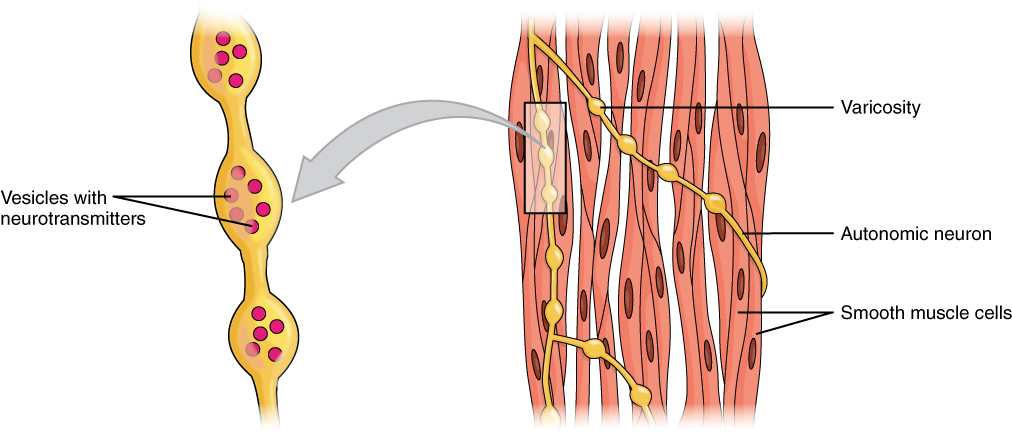 chapter 14: muscles   principles of physiology (biol 3103), Cephalic Vein