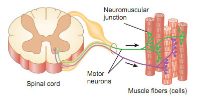 muscle tone and motor unit Measure motor unit stimulation in biceps brachii at rest (muscle tone) compare motor unit stimulation during concentric and eccentric isotonic contraction against muscle load.